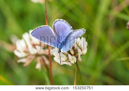 The scarce large blue (phengaris teleius) sitting on a white flower clover
