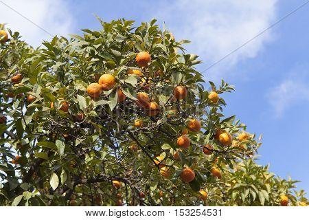 orange tree closeup with blue sky background