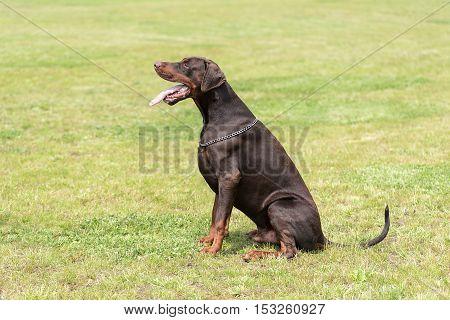 Doberman pinscher sitting in the green field