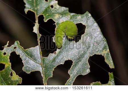 White Dragontail Caterpillar