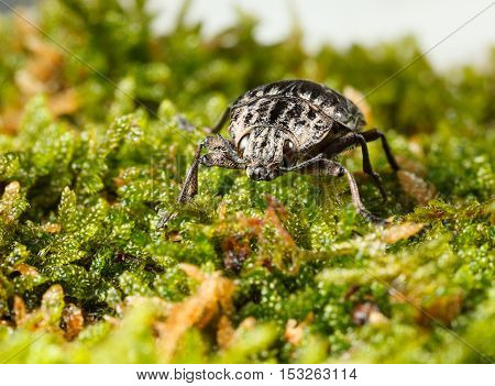 Macro front view of borer beetle (Chalcophora mariana) in green moss on forest floor