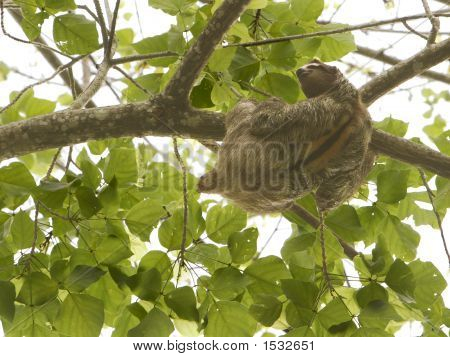 A wild brown-throated three-toed sloth (bradypus variegatus) is climbing along a branch high up in the jungle canopy of Costa Rica. With the large stripe on its back this is an adult male. poster