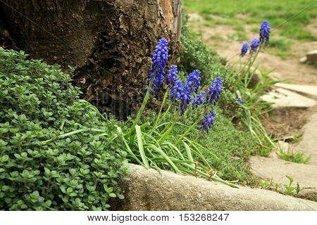 Blue muscari flowers (Grape Hyacinth) in the garden