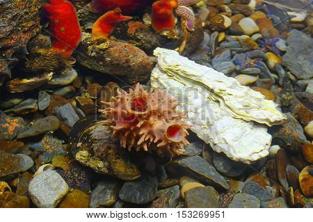 group of Ascidians tetium tuberous mussel warming and starfish in the deep coldwater