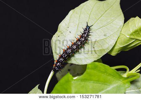 Close up of Autumn Leaf (Doleschallia bisaltide) caterpillar on its host plant leaf in nature