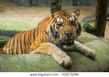 A Siberian tiger (Panthera tigris altaica) cools itself in a pool of water at a zoo Chonburi Thailand.