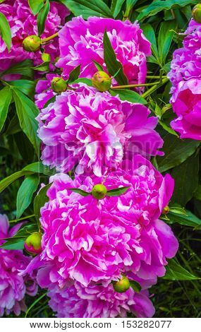 peonies. Bouquet of pink peonies close up. peony