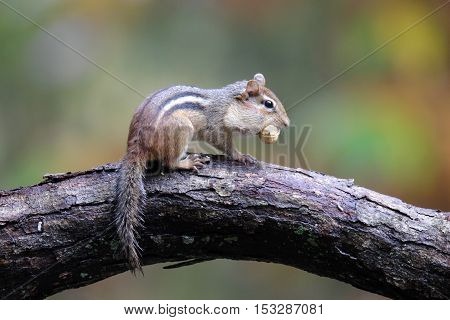 An eastern chipmunk carrying a nut in it's mouth in Fall.