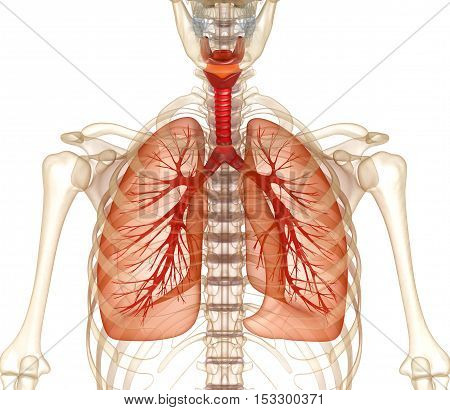 Human lungs trachea and skeleton. Medically accurate 3D illustration