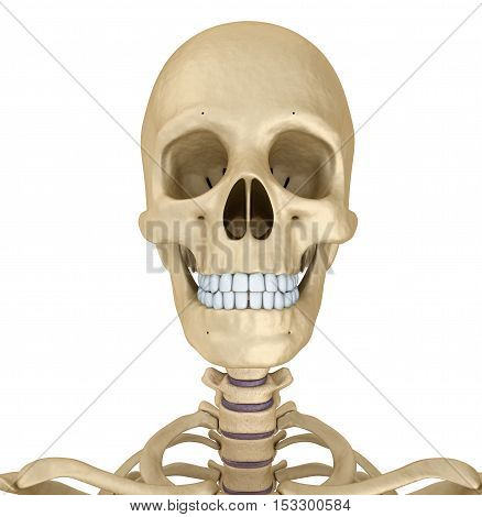 Human skull skeleton isolated. Medically accurate 3d illustration .