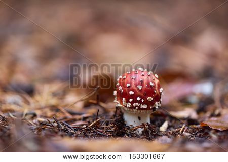 Red Amanita mushroom poisonous organism close up shot with forest bokeh in the background