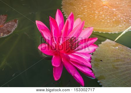 Close up photo of bright pink colour lotus blossom or water lily flower in pond background with sunny light in the morning