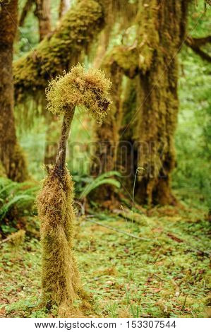 Tree closeup covered with moss in the temperate Hoh Rain Forest.Olympic National Park Washington State USA