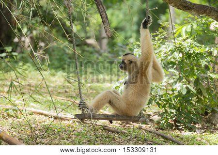 Gibbon monkey sitting on swing in the garden