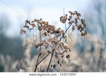 Umbrellas Aegopodium podagraria, ground elder, overcast autumn day. Shallow depth of field. Photo toned.