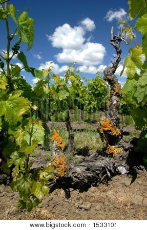 California Grape Vines
