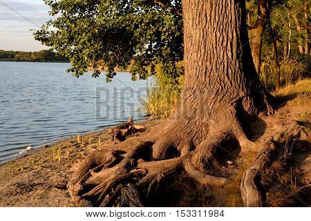 Tree with exposed roots by the river