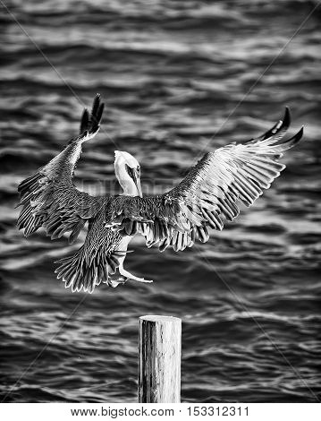 Large pelican coasting in for a landing at sunset