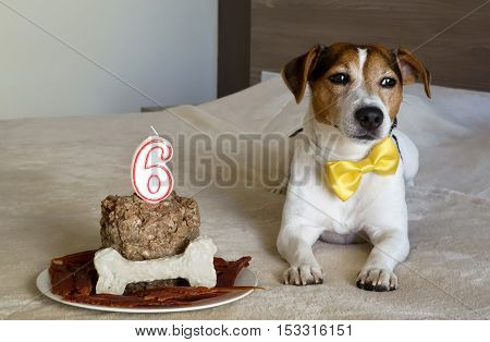 The jack russell terrier dog lying with cake on his sixth birthday. Pet's treats. Treats for pet.