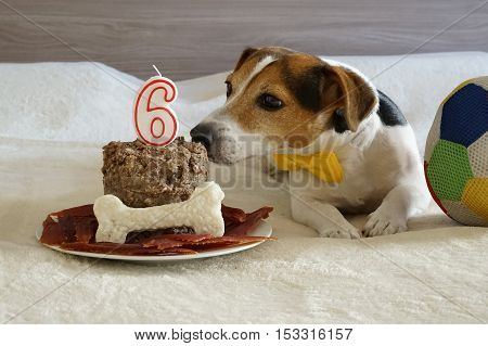 The jack russell terrier dog sniffing cake on his sixth birthday. Pet's treats. Treats for pet.