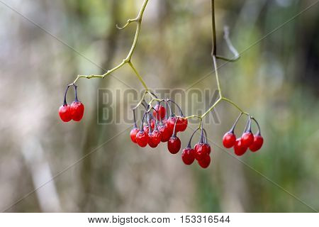 Bunch of red ripe berries of nightshade