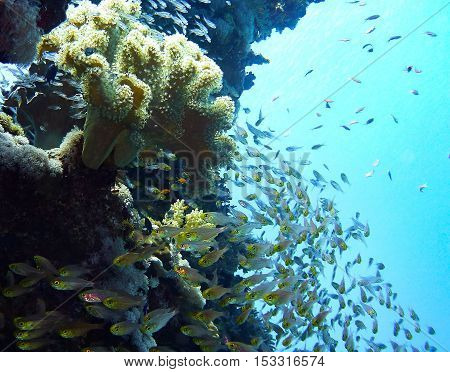 School of Glassfish whirling around coral reef, Red Sea