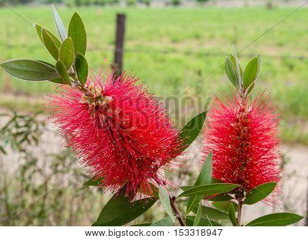 Red bottle brush flowers on Callistemon shrub