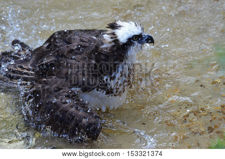 Osprey shaking off water droplets in shallow water.