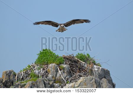 Osprey flying over a nest on a rock ledge.