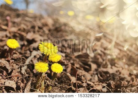 first yellow spring flowers mother and stepmother in the yellowed foliage
