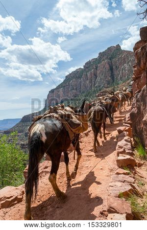 Mules In The Grand Canyon