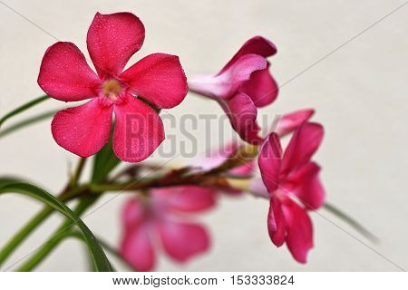 The oleander (Nerium oleander) on the white background.