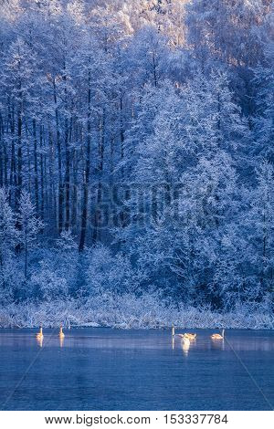 Swans At Sunrise On Winter Lake On Frozen Forest On Background