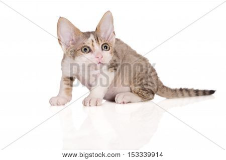 adorable devon rex kitten posing on white
