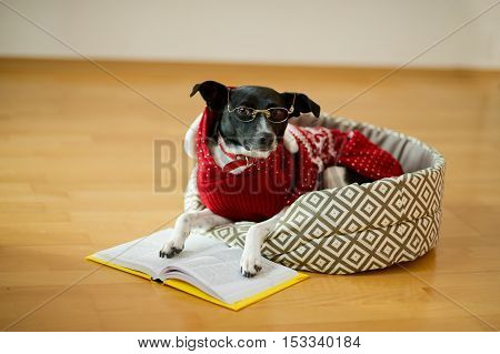 Preparation for christmas holidays. Black-and-white dog bespectacled and in a reindeer suit put paws on the open book. Merry Christmas. Happy New Year.