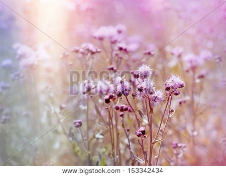 Flowering, blooming thistle (burdock) in meadow - beautiful nature