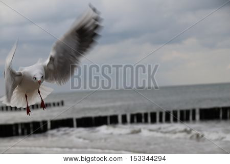 Möwe im Anflug an der Ostsee und angehalten im Flug.