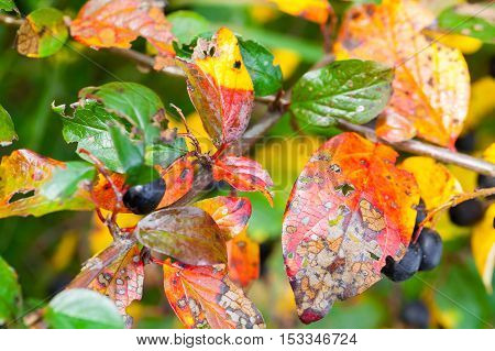 Bright Colorful Autumn Leaves, Macro