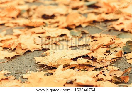 Yellow Fallen Autumnal Leaves, Toned
