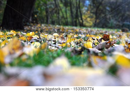 Autumn yellow leaves carpet on green grass