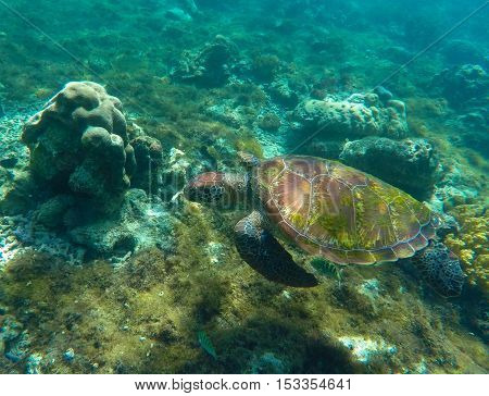 Sea turtle in blue water. Green sea turtle close photo. Eating sea turtle closeup. Green turtle swimming in the sea. Snorkeling with turtle. Philippines snorkeling spot - Apo island. Tropical sea life
