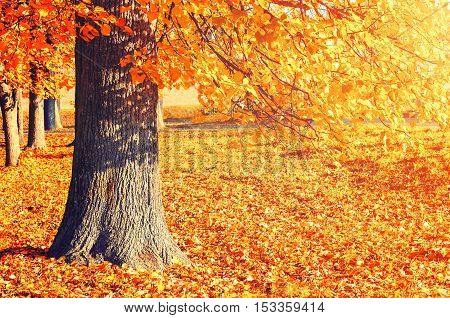 Autumn picturesque landscape of sunny autumn park in sunny weather - spreading autumn tree with fallen autumn leaves lit by sunshine. Sunny autumn landscape of autumn park with golden tree