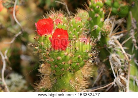 Nice green cactus with red blossom, deep colca canyon Peru