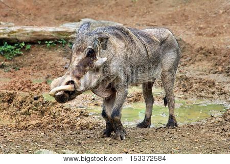 Adult Warthog
