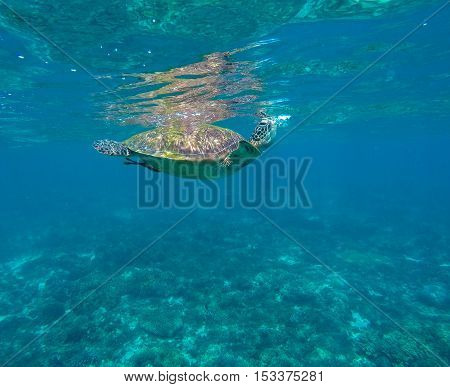 Sea turtle in blue water. Green sea turtle close photo. Ecotourism and sea sport. Green turtle swimming in sea. Snorkeling with turtle in lagoon. Philippines snorkeling spot. Sport during vacation