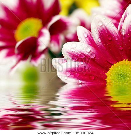 Closeup of pink daisy-gerbera reflected in the water