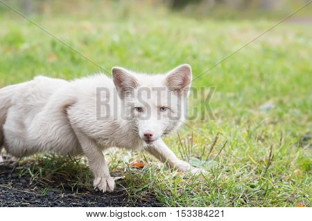 The white Fox lurking in the grass