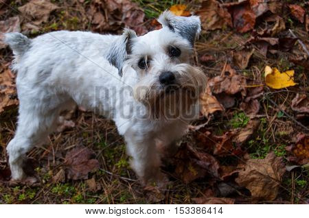 Party Mix Mini Schnauzer standing on the autumn leaves. White puppy dog in her yard with fall leaves in the background.