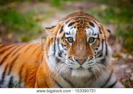 Young tiger (Panthera tigris altaica) is aggressively looking at the camera