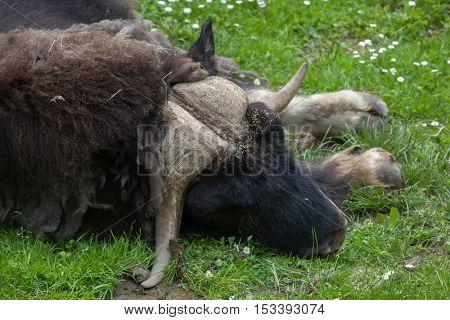 Musk ox (Ovibos moschatus). Wildlife animal.